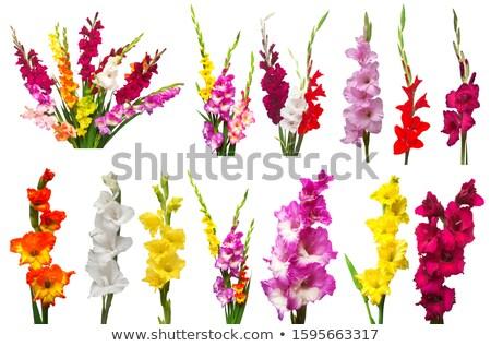 oranje · zwaard · lelie · tuin · water · voorjaar - stockfoto © tetkoren