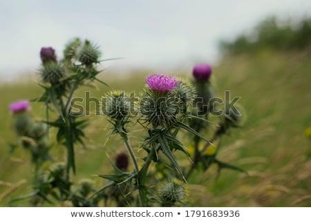 Belle Écosse typique image vert végétation Photo stock © danielbarquero