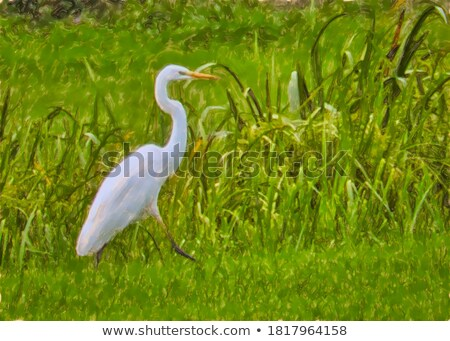 Great Egret Next to a Lake stock photo © rhamm