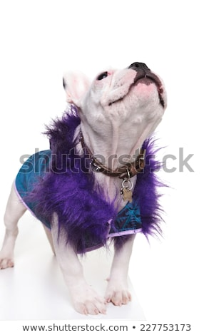 cute french bulldog dressed in a purple fur coat looking up stock photo © feedough