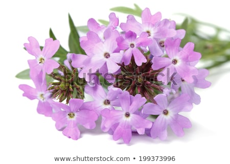 белый сирень цветы полосатый природы Сток-фото © sarahdoow
