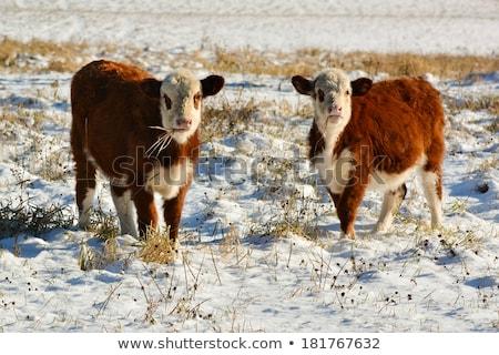 Sığırlar kış üç kahverengi Yeni Zelanda çim Stok fotoğraf © rghenry