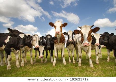 Kudde koeien najaar weide landschap veld Stockfoto © jamdesign