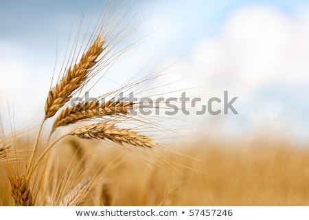 ripe wheat ears against beautiful sky with clouds selective focus stock photo © zurijeta