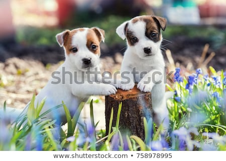 Foto stock: Jack · russell · terrier · cachorro · isolado · branco