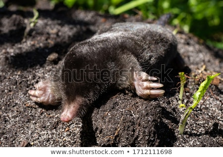Mole with black fur Stock photo © bluering