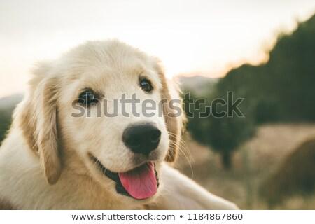 Boldog labrador kutyakölyök felső kilátás labrador retriever Stock fotó © iko