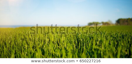 low angle of green wheat crop field stock photo © stevanovicigor