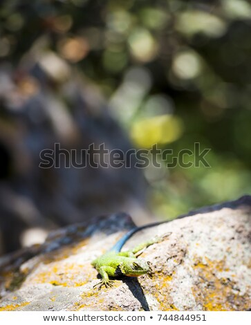 Malaquita lagarto sessão rocha central américa Foto stock © THP