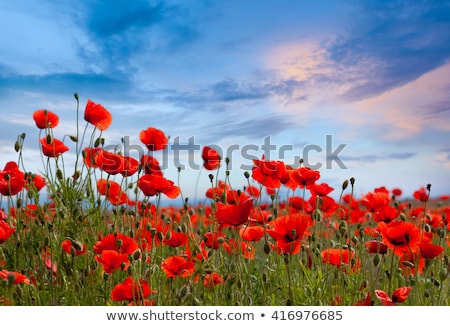 Poppies With Blue Sky Photo stock © Taiga