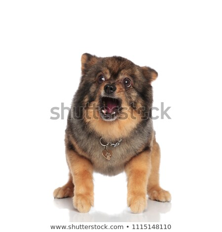 scared pomeranian with mouth open stands and looks to side  Stock photo © feedough