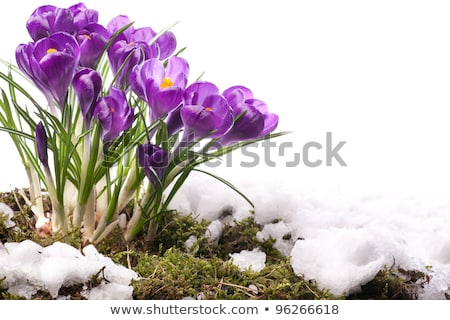 snowdrop flowers and melting snow Stock photo © Mikko