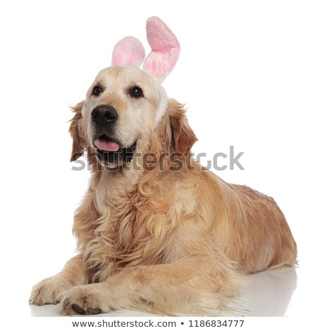 Curioso golden retriever Conejo de Pascua orejas blanco Foto stock © feedough