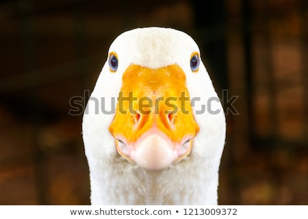 goose white bird in farmyard head neck Stock photo © lunamarina