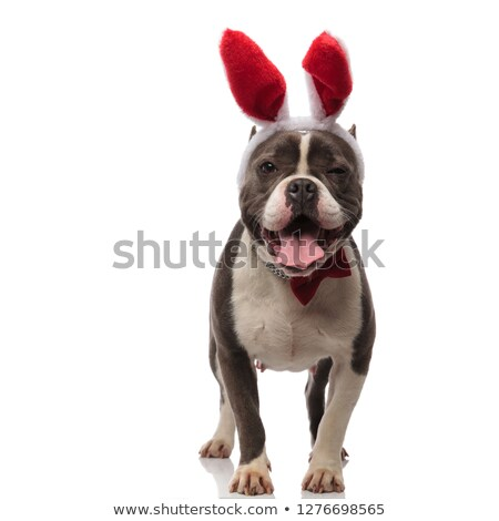 stylish american bully wearing red bunny ears pants and winks Stock photo © feedough