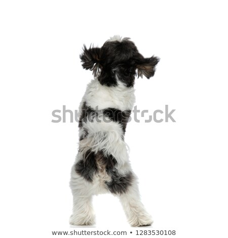 back view of furry shih tzu standing on back paws Stock photo © feedough