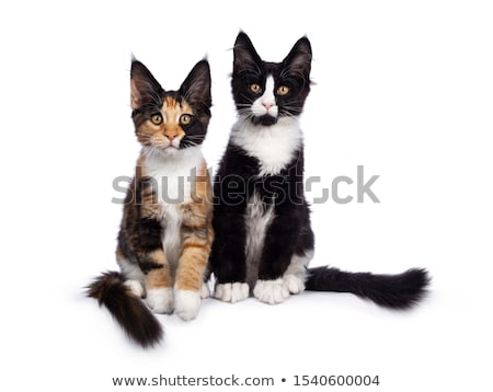Cute tortie Maine Coon cat kitten isolated on white background. Stock photo © CatchyImages