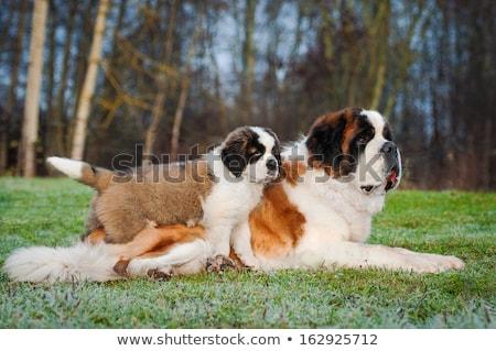 jovem · cachorro · branco · feliz · animal - foto stock © cynoclub