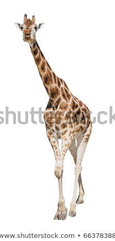 Giraffe front view cutout Stock photo © DragonEye