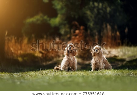 Girl and american cocker spaniel  Stock photo © vladacanon