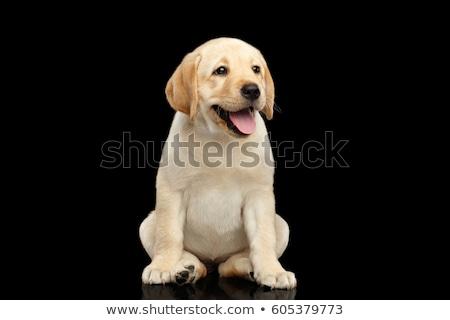 Sluiten shot aanbiddelijk labrador retriever geïsoleerd Stockfoto © vauvau