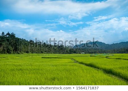 Luxuriante campo arrozal arroz sul China Foto stock © craig