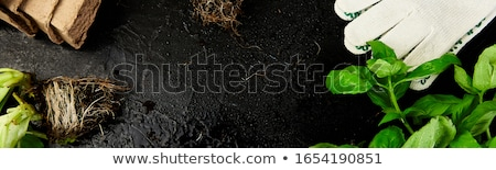 Flat lay of Gardening tools, basil, eco flowerpot, soil on black  background. Stock photo © Illia