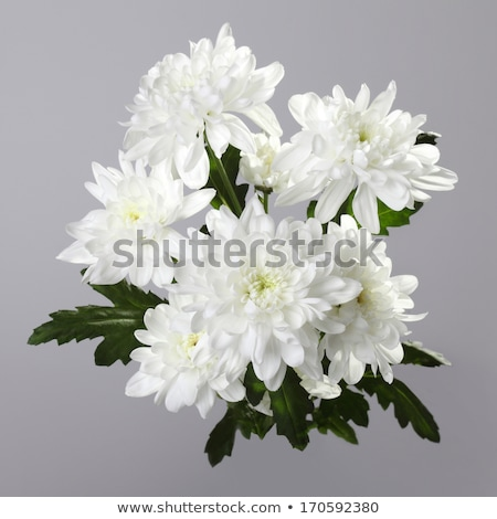 gray background with white chrysanthemums Stock photo © tottoro