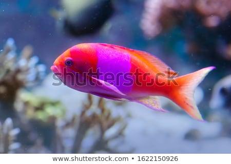 ストックフォト: 妖精 · スイミング · 脳 · サンゴ · 水 · 魚