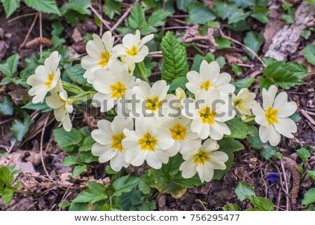 Belo roxo prímula flores verde Foto stock © homydesign