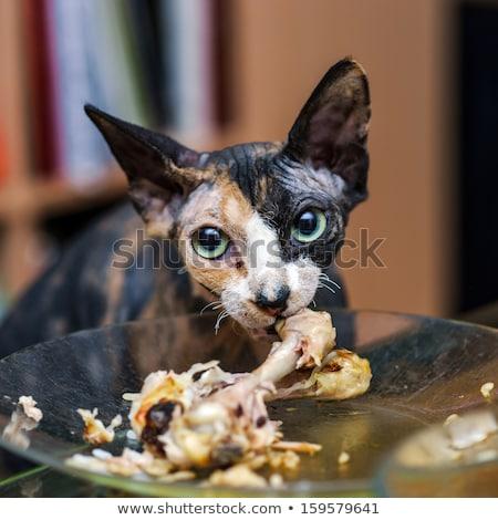 Sin pelo gato comer desnuda Foto stock © PetrMalyshev