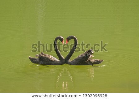 white and black swan on red background with hearts stock photo © marisha