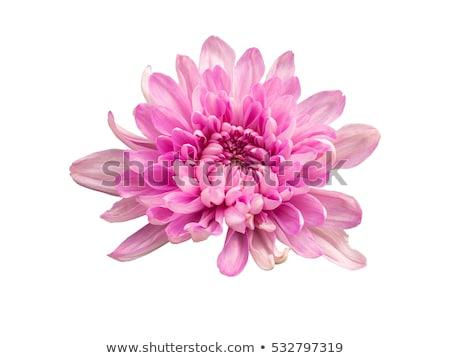 詳細 ピンク 菊 美しい 花束 ストックフォト © taviphoto