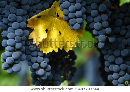 ripe cabernet sauvignon grapes on vine in autumn Stock photo © Zhukow