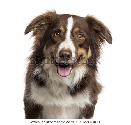 犬 · 見える · 肖像 · 白 · 動物 - ストックフォト © get4net