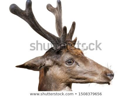 asian deer Stock photo © anan