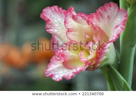 ピンク · ユリ · 露 · 値下がり · 孤立した · 白 - ストックフォト © nailiaschwarz