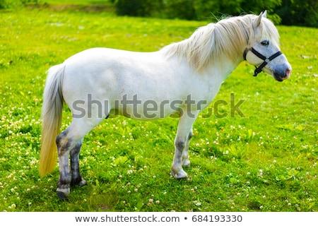 pony white mane Stock photo © taviphoto