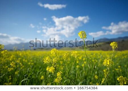 Mustard Grass Stock photo © hlehnerer