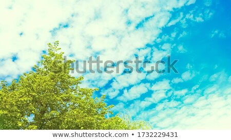 Lime tree branches against the sky Stock photo © Mps197