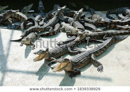 Crocodile is between land and water  Stock photo © alex_grichenko
