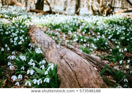 Spring Snowdrop flower Stock photo © mady70