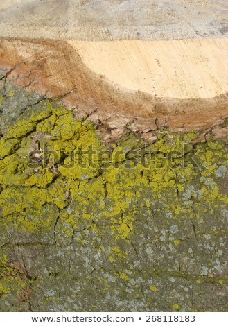 detail of a cut log tree with spurs and mould Stock photo © Melvin07