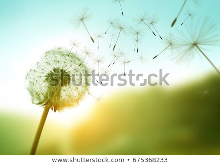 tarassaco · semi · dettaglio · mattina · giardino · primavera - foto d'archivio © X-etra