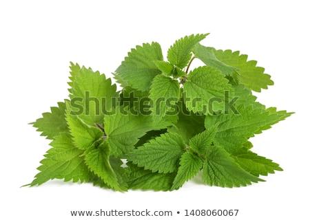 green leaves of Nettle Stock photo © Nekiy
