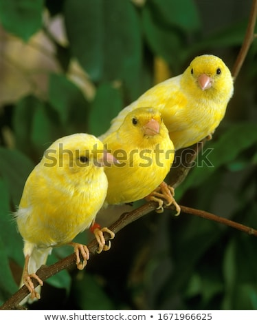Canary bird Stock photo © sifis