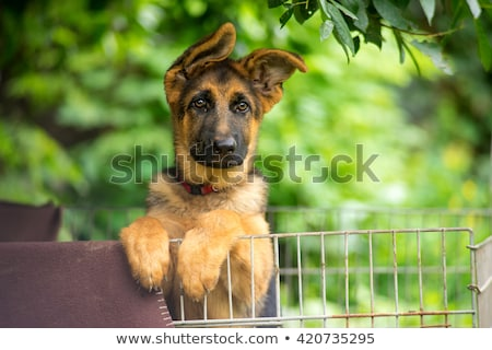 Stock photo: German shepherd portrait in the dark background