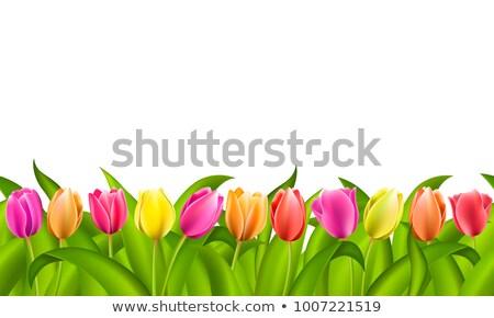 Dolny granicy kolorowy czerwony pomarańczowy tulipany Zdjęcia stock © ozgur