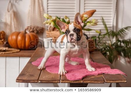 puppy bulldog baby sitting in white studio stock photo © vauvau