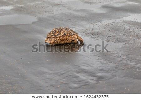 Leopárd teknősbéka iszik park Dél-Afrika Stock fotó © simoneeman